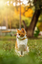 Young Ginger Male Cat Is Sitting In Grass On Sunny Evening