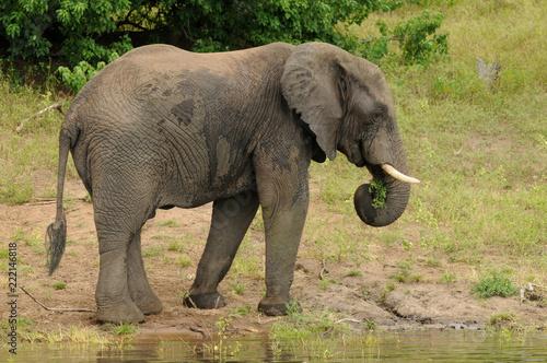 Photo  African elephants in Botswana