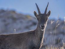 Mouflon & Regard