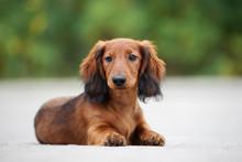 Beautiful Dachshund Puppy Posi...