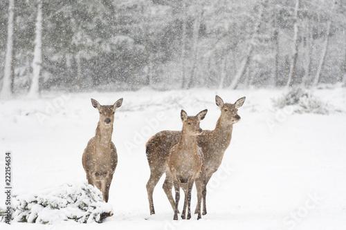 Foto op Aluminium Ree Rehe vor verschneitem, winterlichen Wald