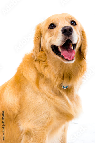 Fotografie, Obraz golden retriever on white background