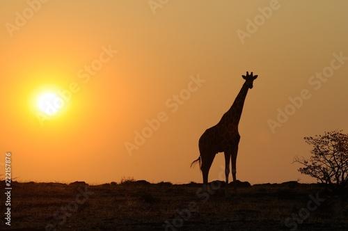 Poster Afrique du Sud Giraffe silhouette in desert landscape with sunset in Namibia