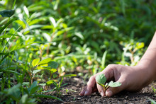 Human Hand Holding A Young Green Plant Or Look Like Remove Some Weed, Save The World And World Environment Day Concept.
