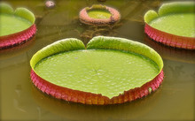 Large Lilypad Leaf Floating In A Tropical Pond