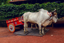 Oxen With A Traditional Costa Rican Painted Ox Cart