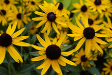 Field Of Golden Yellow Black Eyed Susan Wildflower Blossoms With Brown Centers And Fading Focus