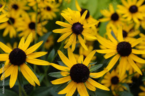 Fotografering  Field of Golden Yellow Black Eyed Susan Wildflower Blossoms with Brown Centers a