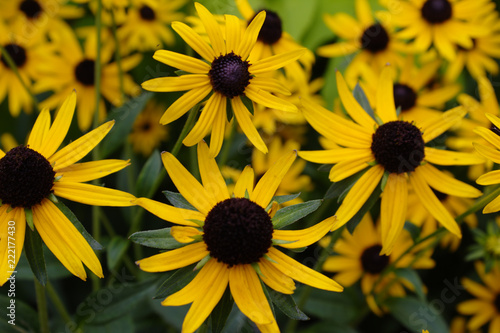 Field of Golden Yellow Black Eyed Susan Wildflower Blossoms with Brown Centers a Billede på lærred