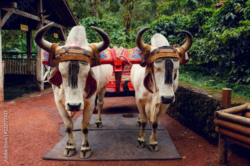 Staande foto Texas Oxen with a traditional Costa Rican painted ox cart