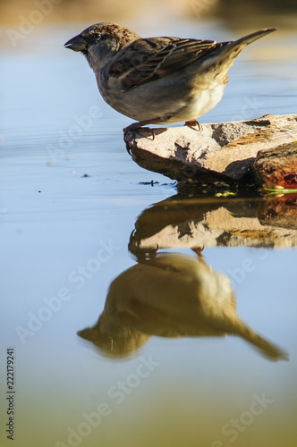 Cuadros en Lienzo House sparrow (passer domesticus), reflection, drinking