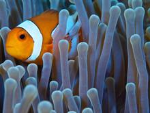 Clownfish In Green Anemone