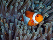 clownfish and green anemone