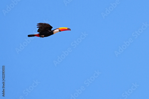 Flying Toco Toucan, Ramphastos Toco, also known as the Common Toucan, Giant Toucan, Pantanal, Mato Grosso do Sul, Brazil, South America