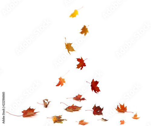 Autumn falling maple leaves isolated on white background