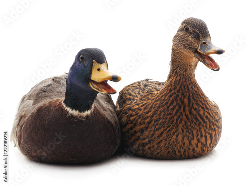 Two wild ducks.