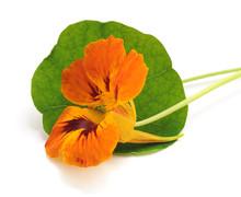 Orange Nasturtium With Leaves.