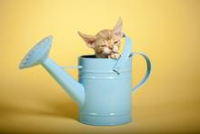 Kitten In Watering Can