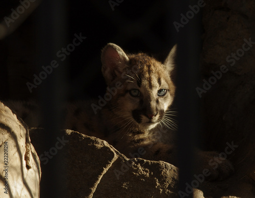 Foto auf Leinwand Luchs A cub in a cage, a zoo