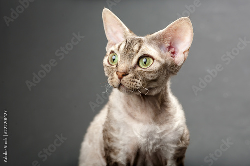 Photo  Devon Rex Cat