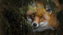Red Fox Hiding In Bush