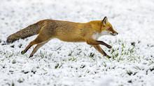 Red Fox Running On Snow