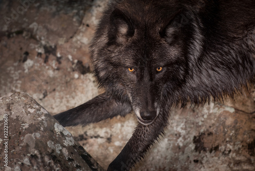 Fotografiet  Grey Wolf (Canis lupus) Against Rocks