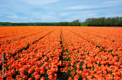Tulip field in Holland. Orange blooming flowers against blue sky in Netherlands.