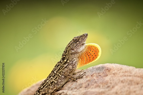 Male brown anole displaying dewlap Wallpaper Mural