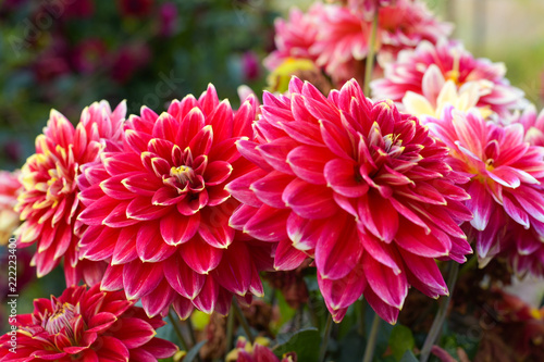 In de dag Dahlia Red and yellow bicolor dahlia flower blossoming in the garden