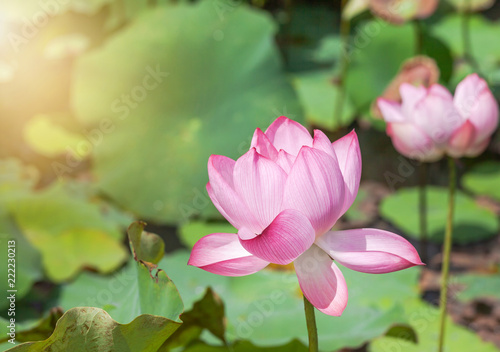 Staande foto Lotusbloem Close up pink lotus flower or Sacred lotus flower ( Nelumbo nucifera ) with green leaves blooming in lake on sunny day