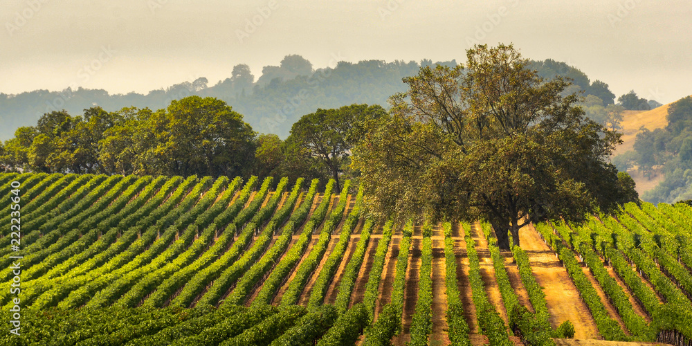 Fototapety, obrazy: Panorama of a Vineyard with Oak Tree., Sonoma County, California, USA