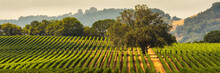 Panorama Of A Vineyard With Oa...
