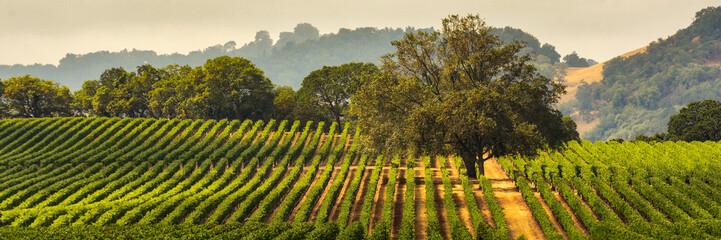 Panorama vinograda s hrastom., Okrug Sonoma, Kalifornija, SAD