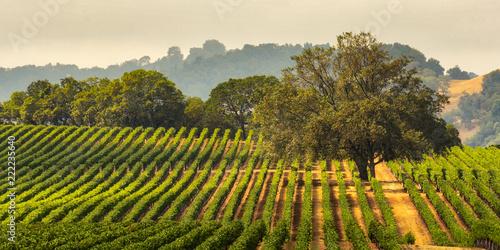 Garden Poster Vineyard Panorama of a Vineyard with Oak Tree., Sonoma County, California, USA