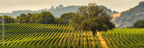 Poster Wijngaard Panorama of a Vineyard with Oak Tree., Sonoma County, California, USA