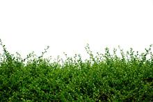 Green Bush On White Background