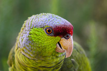 Green, Red, And Gray Parrot Lo...