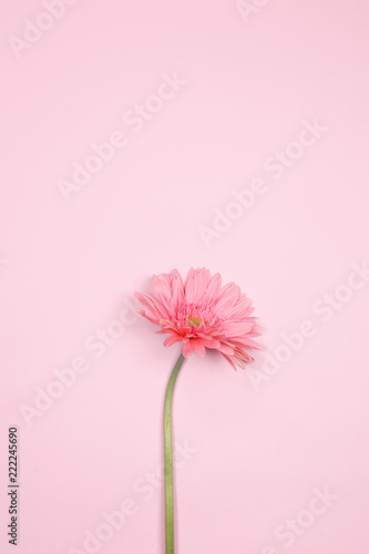Pink gerbera flower on pink background. Flat lay, top view, Spring flower background.