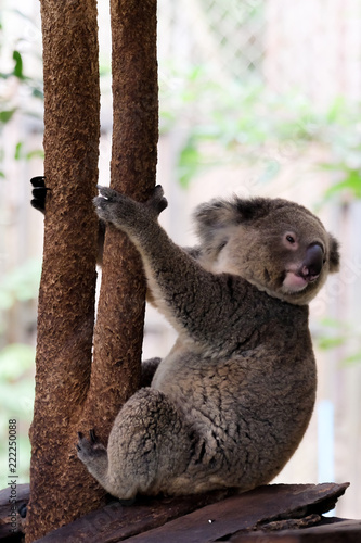 koala bear in forest zoo at Thailand