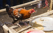 roosters and hens with black and red plumage are sold on the market