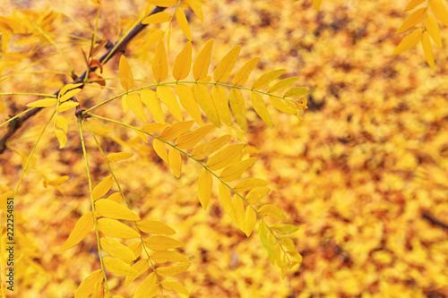 Photo  Golden Yellow Honeylocust Leaves