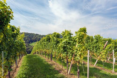 Weinstöcke mit weissen Trauben im Spätsommer