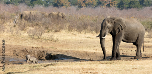 Foto op Aluminium Olifant Warthog chased away by an african elephant, waterhole