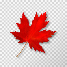 Maple Leaf Isolated On Transparent Background. Bright Red Autumn Realistic Leaf. Vector Illustration Eps 10