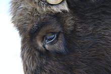 Aurochs Bison In Nature / Winter Season, Bison In A Snowy Field, A Large Bull Bufalo