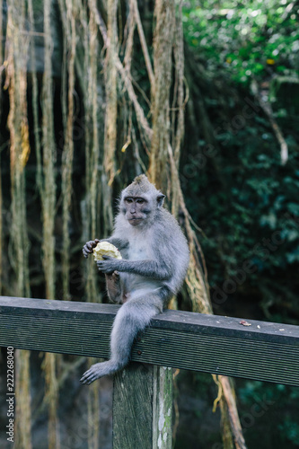 Foto op Canvas Aap A portrait of a monkey sitting on a wooden handrail and eating in the sacred monkey forest in Ubud, Bali, Indonesia