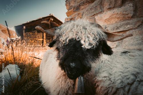 Portrait eines witzigen Schwarznasenschaf oberhalb von Zermatt Fototapeta