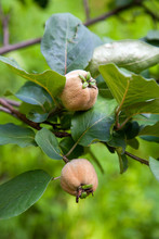 Apple Quince Growing On Tree B...