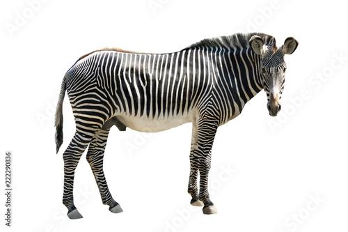 Tuinposter Zebra zebra isolated on white